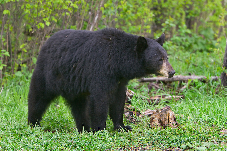 Black Bear standing outside the edge of a forest