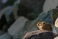 Pika (Ochotona princeps) in alpine rock pile.  Pacific Northwest.  Summer evening.