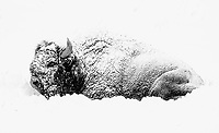 A bison is coated in fresh snow on a fall morning in Yellowstone.