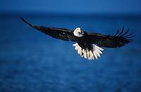 Bald Eagle, Haliaeetus leucocephalus,adult in flight fishing, Homer, Alaska, USA, March 2000