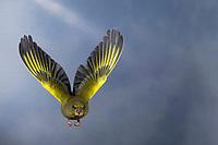 Grünfink, Grünling, Männchen, im Flug, Flugbild, fliegend, Grün-Fink, Chloris chloris, Carduelis chloris, greenfinch, male, flight, Verdier d'Europe