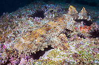 ornate wobbegong, Orectolobus ornatus, or Gulf wobbegong, banded wobbegong, Orectolobus halei, Fish Rock, South West Rocks, New South Wales, Australia