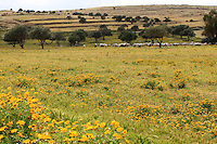 stock photo: Sheep grazing in a pasture filled with yellow daisy flowers.