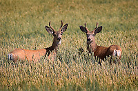 A pair of young mule deer bucks (Odocoileus hemionus) momnetarily pausetheir browsing to investigate a passerby.