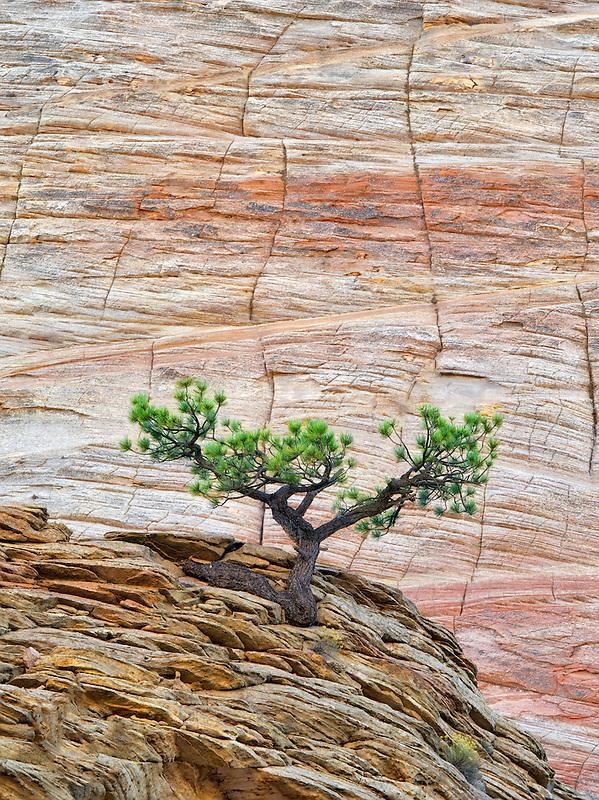 Bonsai ponderosa pine tree struggling to survive and Cherboard Mesa.  Zion National Park, Utah.