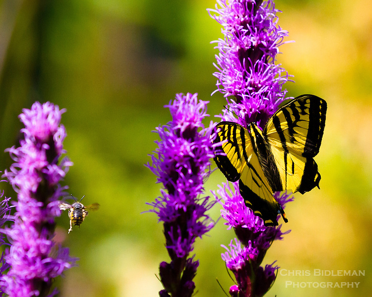 A Tiger Swallowtail butterfly (Papilio glaucas) and a honey bee (Apis mellifera) in flight are seen on liatris (Liatris spicata) or blazing star flowers during Summer with a nice bokeh effect on the background