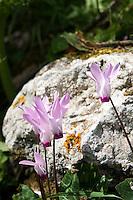Nordzypern, Alpenveilchen (Cyclamen) bei der Burg Kantara