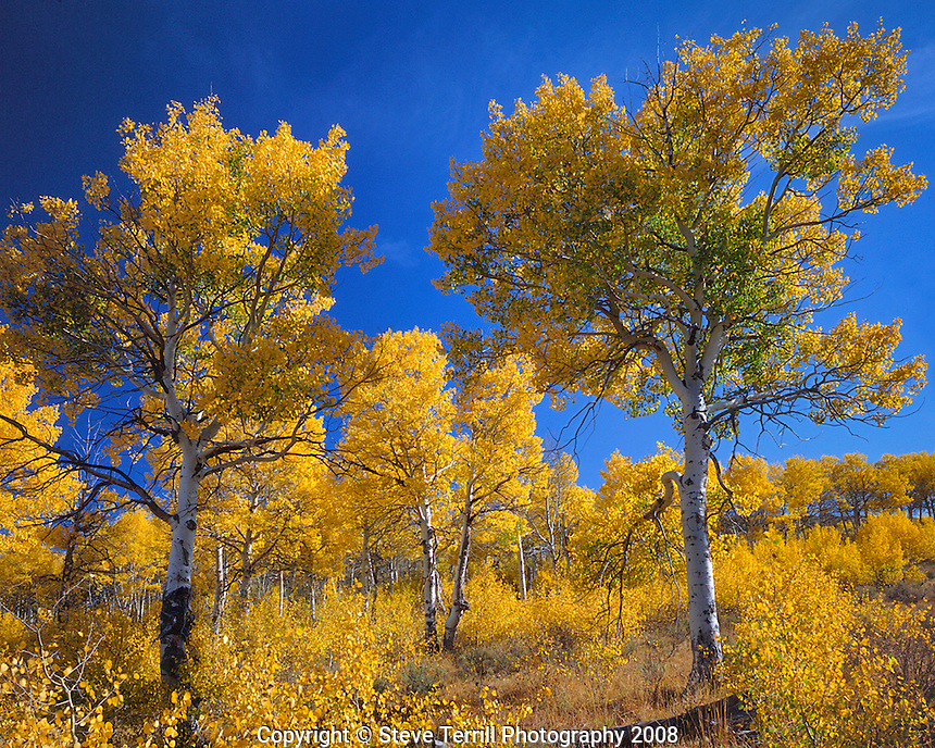 Fall colored aspens on Steens Mountain in southeastern Oregon