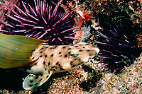 Shark Birth, baby swell shark, Cephaloscyllium ventriosum, hatching from egg case, California, USA, Pacific Ocean
