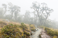 Sub-alpine section of Routeburn Track with beech trees in clouds, Fiordland National Park, Southland, South Island, World Heritage Area, New Zealand