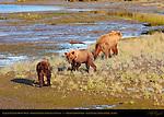 Alaskan Coastal Brown Bear, Golden Female and Cubs at Sunset, Silver Salmon Creek, Lake Clark National Park, Alaska