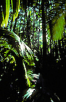 A look into a dense green rainforest on the Big Island of Hawaii.