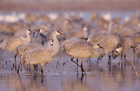Sandhill Crane, Grus canadensis, group at roosting place, Bosque del Apache National Wildlife Refuge , New Mexico, USA, December 2003