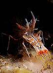 Spiny Tiger Shrimp, Phyllognathia ceratophthalmus, Underwater macro marine life images;  Photographed in Tulamben; Liberty Resort; Indonesia.Underwater Macro Photographer on FB 2nd Annual event