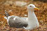 Western Gull (Larus occidentalis) incubating eggs on nest, South Farallon Islands, Farallon Islands, Farallon National Wildlife Refuge, California