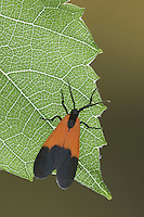 Ctenucha Moth, Ctenuchidae, adult on Grapevine leaf, Uvalde County, Hill Country, Texas, USA