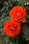 MINIATURE ROSE, ROSA 'RED SUNBLAZE'