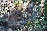 Africa, Botswana, Okavango Delta, Khwai Private Reserve. Lions.