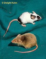 MU60-084z  Pet mouse - genetic color variation