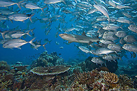 Whitetip reef shark, Triaenodon obesus, and schooling bigeye jacks, Caranx sexfasciatus. Sipidan Island, Malaysia.