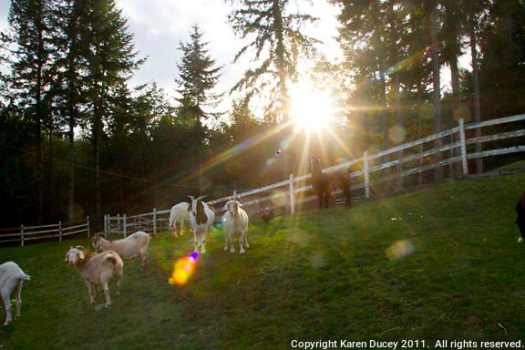 Animals on the sanctuary, Pasados Safe Haven, in Sultan, WA followed by a memorial service for Louis St. Martin on October 23, 2011. St. Martin provided Pasados with a barn on his property in Raceland, LA during their Hurricane Katrina rescue operations.  (photo by Karen Ducey)