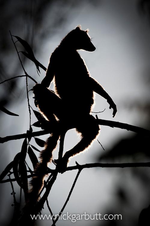 Ring-tailed Lemur (Lemur catta) silhouette at dawn. Berenty Private Reserve, southern Madagascar.