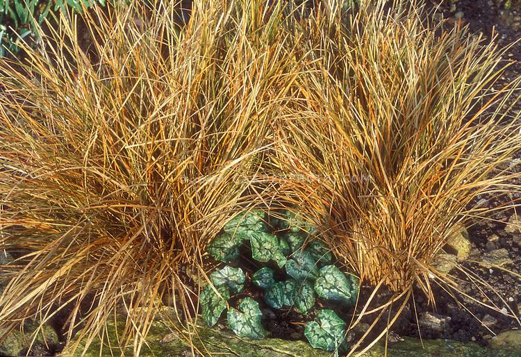Cyclamen hederifolium & Carex comans Bronze Form