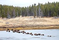A herd of bison crosses the Yellowstone River in Hayden Valley.