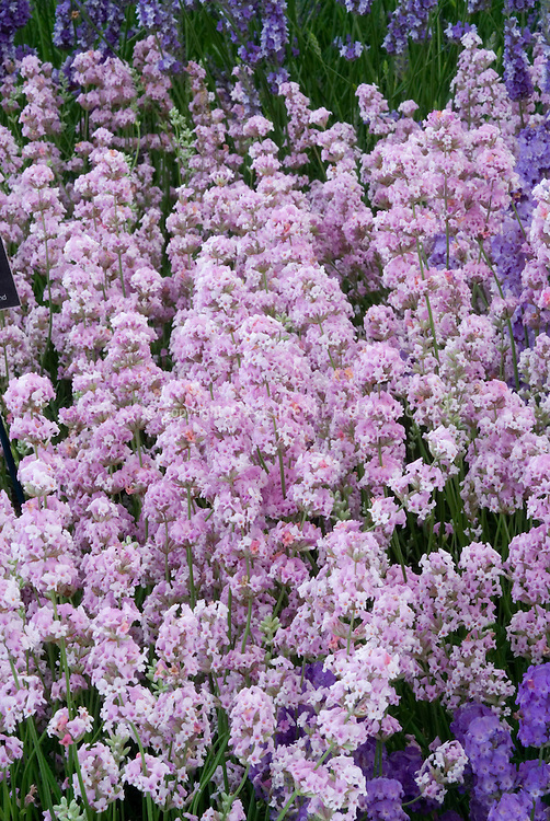 Lavandula angustifolia 'Rosea' English lavenders