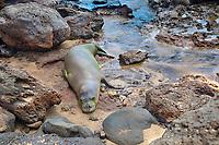Hawaiian monk seal, Neomonachus schauinslandi (formerly Monachus schauinslandi), resting, endemic species, endangered species, Kepuhi Beach, Kaluakoi, Molokai, Hawaii, USA, Pacific Ocean
