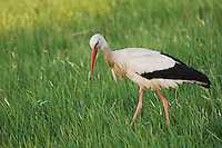 White Stork, Ciconia ciconia, National Park Lake Neusiedl, Burgenland, Austria, April 2007