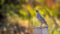 Fine Art Photograph of a California Quail in Penticton, British Columbia, Canada.