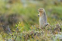 Tough little Ground Squirrel battles the rain.  Denali National Park, Alaska.