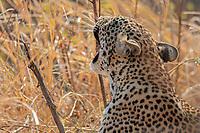 africa, Zambia, South Luangwa National Park, Leopard roaring