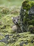 Renard arctique, le seul mammifere habitant l Islande avant l arrivee de l homme.