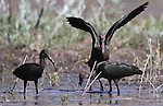Several White-faced Ibis feed in Little Washoe Lake, in Washoe State Park. Washoe Lake State Park, established in 1977, is one of 25 in the Nevada state parks system and is home to many forms of wildlife. The 4,115-acre park, in Washoe Valley, Nevada, is popular with bird watchers, as the park is home to hundreds of migratory and resident species as well as other creatures common to the Great Basin. <br /> Photo by Cathleen Allison