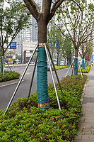 Suzhou, Jiangsu, China.  Metal Braces Support Trees along Major Street.