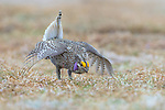 Male sharp-tailed grouse dancing on a lek in the Namekagon Barrens Wildlife Area (Danbury, Wisconsin).