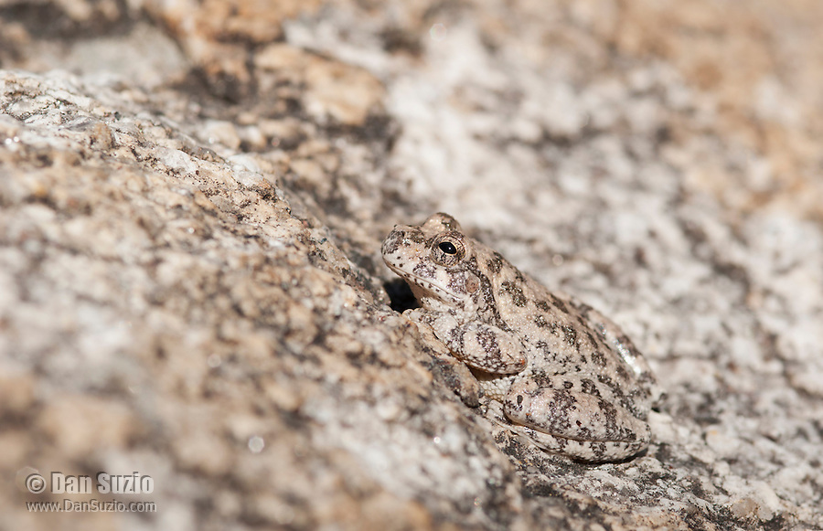 Canyon treefrog, Hyla arenicolor, is well camouflaged in the rocky streambed of Bear Canyon, Coronado National Forest, Arizona
