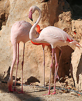 Stock image of beautiful rosa flamingos pair standing at the bank of a lake.
