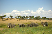 A significant number of African Elephant family groups are found in the Ndutu / Ngorongoro Conservation area.
