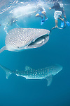 Triton Bay, West Papua, Indonesia; snorkeling with Whale Sharks beside a fishing platform or bagan, in the middle of the bay