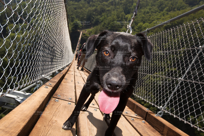 """Switzerland. Canton Ticino. Sementina valley. """"Caracs"""" Tibetan bridge. Dog. Eyes and pink tongue. The 270 m long Tibetan bridge build by the Foundation Curzútt-S. Barnard allows the passage of the rugged valley that separates the communities of Sementina and Monte Carasso, two towns located in front of Bellinzona. The bridge joins the stone made village of Curzútt to the hiking path of """"Via delle Vigne"""", allowing people to make excursions in an area characterized by a landscape rich in cultural heritages. Anchored at a height of 696 m, the bridge rises 130 m above the ground. The walkway, large approximatively one meter, is made of larch wood. Crossing it is a unique experience that represents a true challenge. The safety measures guarantees a risk-free approach and make it a top-attractions either for young intrepid or adventurous families. 14.05.2015 © 2015 Didier Ruef"""