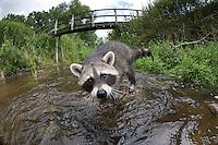 """Waschbär, etwa 4 Monate altes Jungtier sammelt erste Erfahrungen mit dem Element Wasser, Tierkind, Tierbaby, Tierbabies, Männchen, Rüde, Waschbaer, Wasch-Bär, Procyon lotor, Raccoon, Raton laveur, """"Frodo"""", Fisheye"""