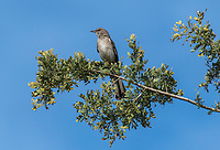 Northern Mockingbird, Mimus polyglottos, in Dreamy Draw Park, part of the Phoenix Mountains Preserve near Phoenix, Arizona
