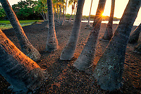 Palm trees and sunrise at  Punaluu Black Sand Beach. Hawaii Island