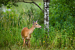 Alert white-tailed doe in summer