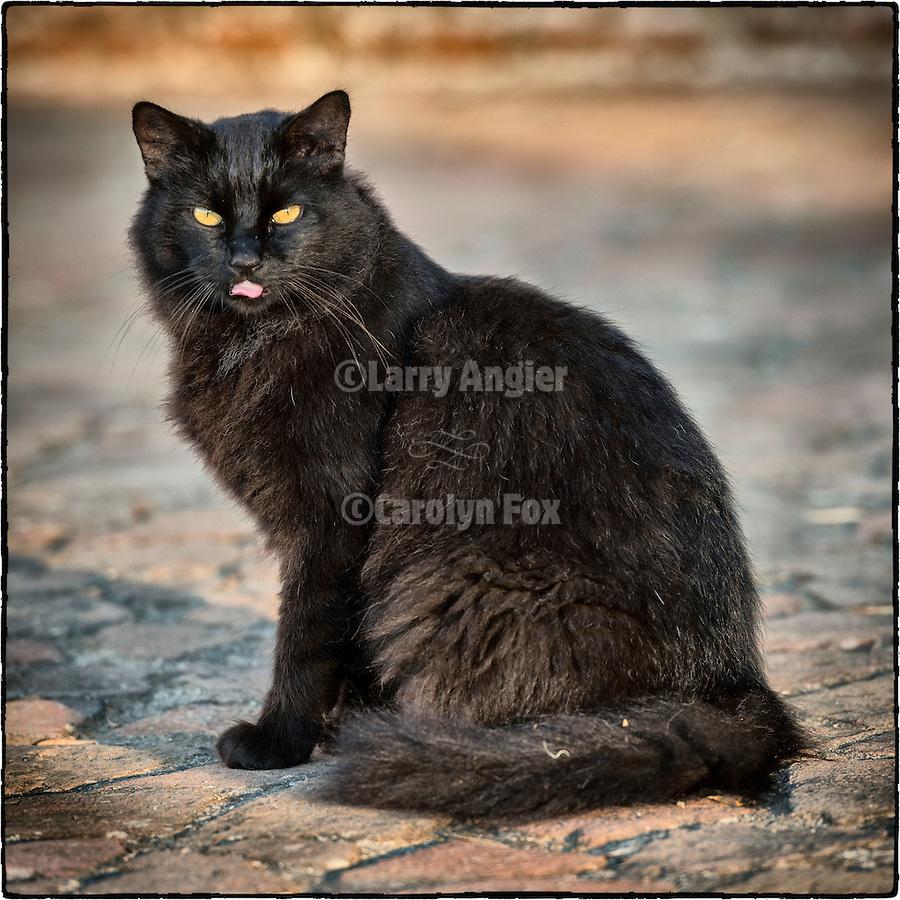 Rosario the black mission cat, Missión San Antonio de Padua, Calif.