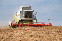 Harvesting combinable peas with Claas Lexion 480 - August, Lincolnshire