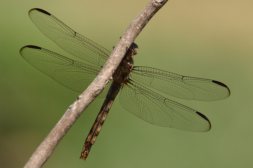"""This newly emerged Roseate Skimmer played peek-a-boo with me here. The image shows the intricate wing patterns of """"Nature's Tapestry""""."""